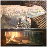 Bearded dragon in Chicago, Illinois