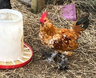 Bantam Rooster --Mille Fleur d'Uccle in Cleveland, Texas