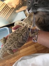Female Bearded Dragon w/large tank & lights in Yucca Valley, California