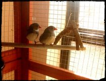 Sweet female zebra finch to excellent home only in Fort Irwin, California