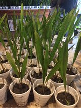 Cold Hardy Windmill Palm Seedlings in Wilmington, North Carolina