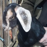 weened Nubian mix goats in Fort Campbell, Kentucky