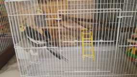 Two gray cockatiels &cage in Byron, Georgia