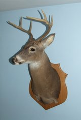 Whitetail Deer Taxidermy Shoulder Mount in Oswego, Illinois