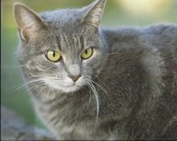 Missing Gray Cat in Fort Polk, Louisiana