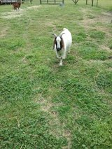 Goats/billy in Perry, Georgia