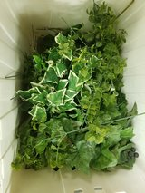 4 Totes of mixed ivy in Conroe, Texas