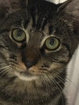 Wonderful Tabby Kitty in The Woodlands, Texas