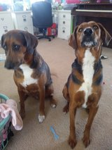 Brother & sister Coonhound mix in 29 Palms, California