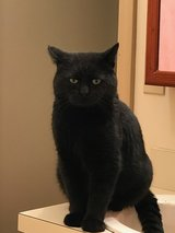 Male Neutered Cat in Fort Campbell, Kentucky