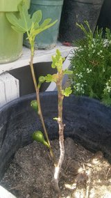 Fig trees for sale in 29 Palms, California