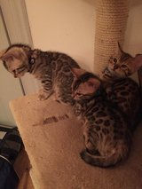 Purebred Bengal Kittens in Spangdahlem, Germany