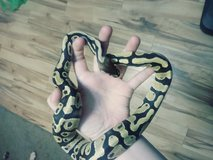 Fire ball python in Perry, Georgia