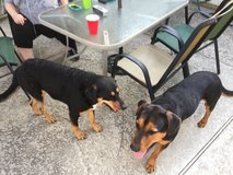 Playful Rottweiler Mix in The Woodlands, Texas