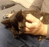 "Abandoned ""tortie"" type kitten returned to foster home still needs forever family in Fort Campbell, Kentucky"