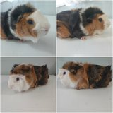 Guinea Pig with Cage in Naperville, Illinois