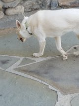 Found white Shepard/Husky? mix in 29 Palms, California