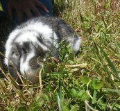 Rabbit mini lops in Conroe, Texas