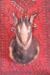 Taxidermy: Chamois in Stuttgart, GE