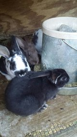 mixed breed bunnies in Fort Campbell, Kentucky