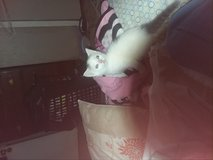 Free kitty in Fort Campbell, Kentucky