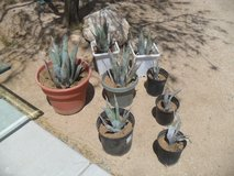 +++  Agave Cactus  +++ in Yucca Valley, California