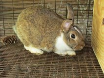 female rex lop in Coldspring, Texas