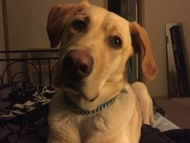 4yo pure bred yellow lab in Fort Lewis, Washington