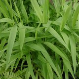 Northern Sea Oats NATIVE Perennial Garden Grass IN POTS in Naperville, Illinois