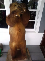 Brown bear Taxidermy in Spring, Texas