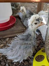 Smoothe and frizzle polish chicks in Cleveland, Texas
