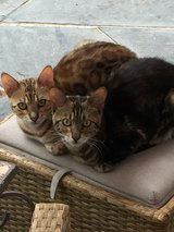 Bengal Cats  (Registered International Cat Federation) Male and Female in Spangdahlem, Germany