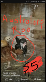 australorp roo in Coldspring, Texas