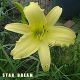STAR DREAM Pale Yellow Fragrant Daylily in pots in Westmont, Illinois