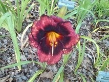 """Daylily, """"Spacecoast Technical Knockout"""" in Warner Robins, Georgia"""