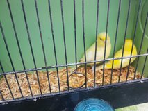 Fife Canaries in Lakenheath, UK