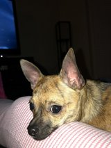 9 month old chihuahua w/ckc papers in Quantico, Virginia
