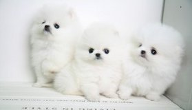Super cute Pomeranian Puppies Now Available in Pasadena, Texas