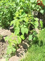 Raspberry plants in St. Charles, Illinois