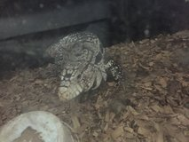 Pair of Tegus with 220 Gallon tank in Warner Robins, Georgia