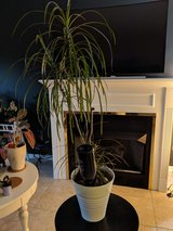 tropical house plant in Chicago, Illinois