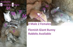 Bunny Rabbits - Flemish Giant 8 available in Fort Gordon, Georgia