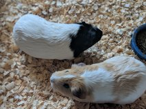 2 Guinea Pigs with everything. in Chicago, Illinois