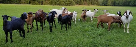 GOATS FOR SALE -MEAT, PETS, or BREEDING in Rolla, Missouri