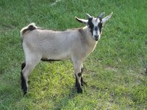 male baby goat in Cleveland, Texas