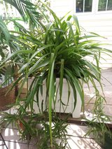 Spider Plants Hijos de Mala Madre Chlorophylum Green in St. Charles, Illinois
