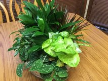 Houseplants - Beautiful Large Arrangement in Algonquin, Illinois