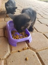 Black Kittens in Las Cruces, New Mexico