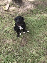 pit/lab mix in Fort Polk, Louisiana