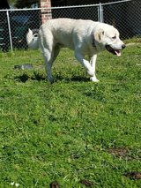 great pyrenees mix in Fort Polk, Louisiana
